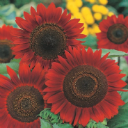 Sunflower Red Sun - Appx 160 seeds